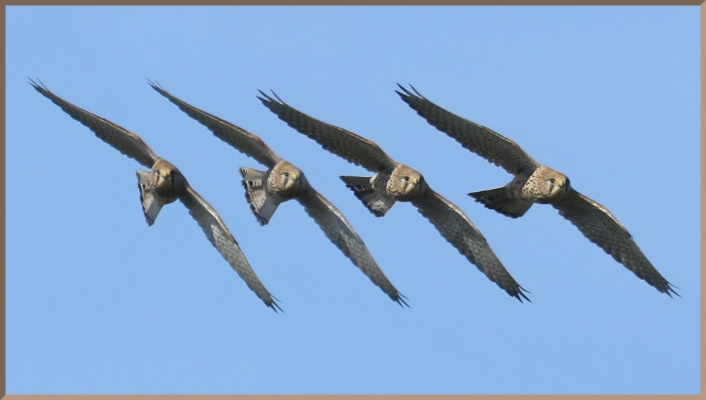 alignment-kestrel-in-flight